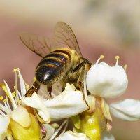 Обратная сторона пчелы :: A. SMIRNOV