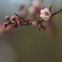 Цвет абрикоса :: Лилия Гиндулина