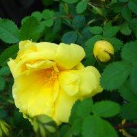 Пришла пора роз... :: Тамара (st.tamara)