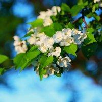 Яблоня цветет :: Вячеслав Ложкин