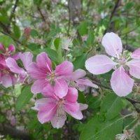 В казанском парке Тысячелетия отцвели две сакуры :: Наиля