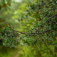 дождь в сосновом лесу... :: ирэн