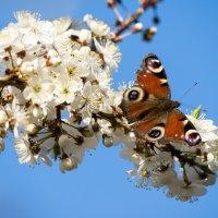 Небо, слива, бабочка :: Руслан Гончар