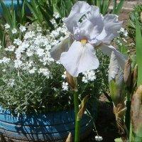 Майские прелести нашего двора :: Нина Корешкова