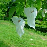 Нежный цвет прелестного дерева Давидии :: Nina Yudicheva