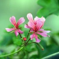 Flowers :: Олег Шендерюк