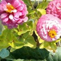 розовые цветы :: Максим Мальцев