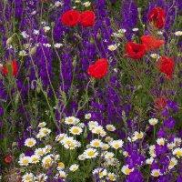 Полевые цветы :: Анатолий Мигов