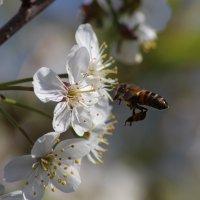 пчёлка.... :: Александр