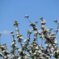 Яблоня в цвету :: Наталья Джикидзе (Берёзина)