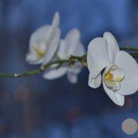 ночная орхидея :: Алексей Могилёв