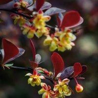 цветы барбариса :: Анна Семенова
