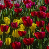 Тюльпаны :: Михаил Тищенко