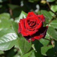Красные розы – всегда были и будут постоянным символом любви. :: Anna Gornostayeva