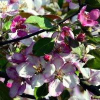 Яблони в цвету  / 5 / :: Сергей