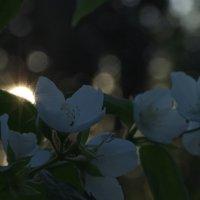 Цветы чубушника на фоне заходящего солнца :: Balakhnina Irina