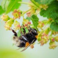 Пчелка на цветках смородины :: Наталья Золотарева