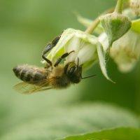 Пчела :: Олег