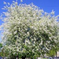 Черёмуховое дерево. :: Лия ☼