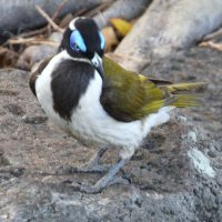 Blue-faced Honeyeater, синеухий медосос (лат. Entomyzon cyanotis) :: Антонина