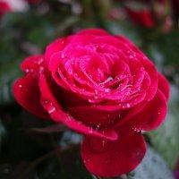 Я слышу шум дождя. Дождь с розой говорит....... :: Galina Dzubina