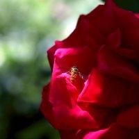 Весна пчелы. Пчела весны..) :: Вадим