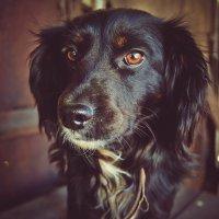 Кариглазая собачка :: Света Кондрашова