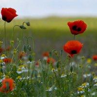 цветение маков в степи :: Алена Рыжова
