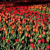 тюльпаны :: navalon M