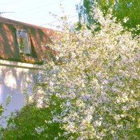 Яблоня в цвету :: Наталия П
