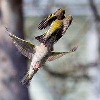 Зеленушки. Фигурное летание :: Валерий Князькин
