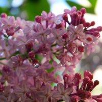 весна в розовом цвете :: анастасия артемьева