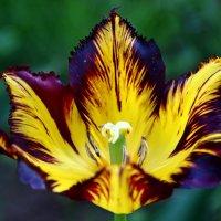 Красавец тюльпан :: Александр Яковлев