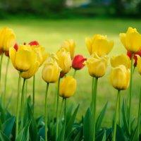 Тюльпаны :: Михаил Вандич