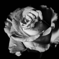 Роза :: Любовь М
