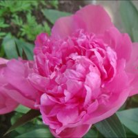 Розовая нега пиона из нашего двора :: Нина Корешкова