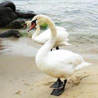 2 Лебеди на пляже. Неужели зря... :: Маргарита Батырева