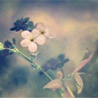 Вишневое клубление :: 8ele8 Elena