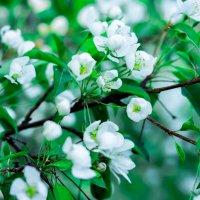 яблоня цветет :: Ольга
