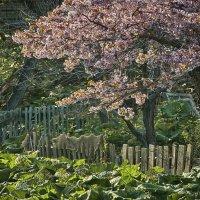 Заброшенный сад. Сакура в цвету. :: Сергей Калиновский