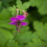 Пчела :: Анастасия