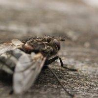 Брутальный мух :: Darya Voronova