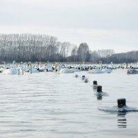 Зимовка лебедей :: samplephoto _