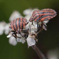 Цветки сныти, два клопа и один муравей :: Елена Ахромеева