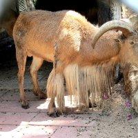 Интересный козел :: Герович Лилия