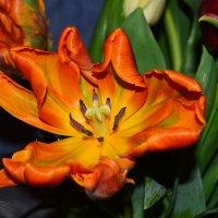 Попугайские тюльпаны :: Инна - Lasso - Ленкевич