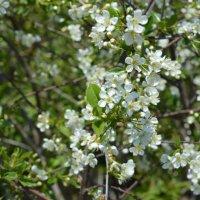 Яблоня цветет! :: Маргарита Кириллова