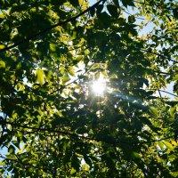 солнце пробивается сквозь листья :: Света Кондрашова