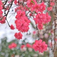Японская сакура :: Swetlana V