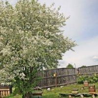 Яблоня в цвету - пчёлкам в радость :: Любовь